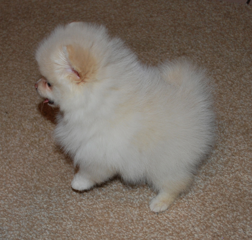 Pure White And Cream White Pomeranian Puppies For Adoption